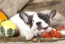 Free French Bulldog Puppy Stock Photos - 21985643