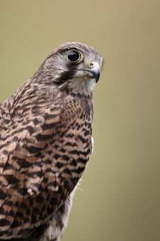 Free Kestrel Stock Images - 21986134