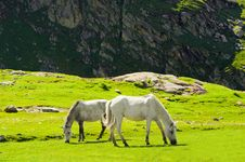 Wild Horses In Himalaya Mountains Royalty Free Stock Image