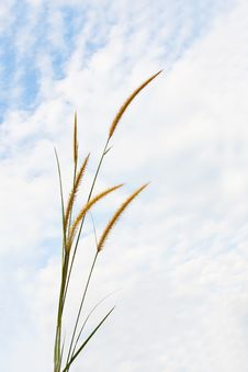 Free Pampas Grass Royalty Free Stock Photo - 21992755