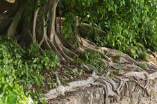 Free Tree Roots Stock Photography - 21993012