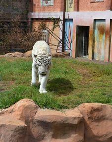 Free White Tiger Stock Photo - 21993210