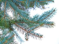 Free Fir Branches Isolated On White Royalty Free Stock Photography - 21994127