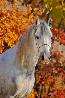 Free Portrait Of  Horse In Autumn Forest Stock Image - 21995851