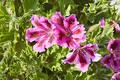 Free Martha Washingtons Royalty Free Stock Images - 220239