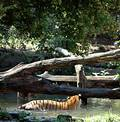 Free Tigers Eyeing Each Other Stock Images - 224714