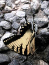 Free Butterfly Closeup On Gravel Royalty Free Stock Image - 226956