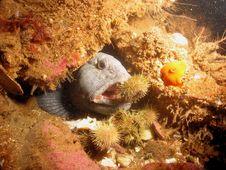 Free Wolffish Stock Photo - 220340