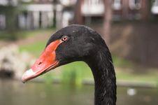 Free Swan S Head Stock Image - 220961