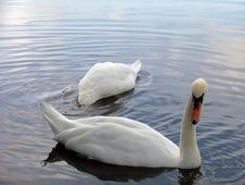 Free A Pair Of Swans Royalty Free Stock Photos - 221718