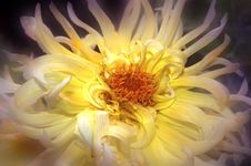 Free Dreamy Spider Mum Stock Photography - 223112