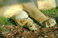 Free Lioness Paw Royalty Free Stock Photos - 223468