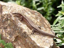 Free Lizard Royalty Free Stock Photos - 223798