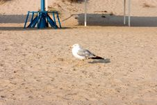 Free Seagull Stock Photography - 224262