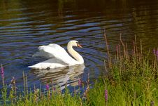 Free Swan Royalty Free Stock Photo - 224475