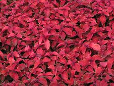 Free Red Leaf Background Stock Photos - 224683