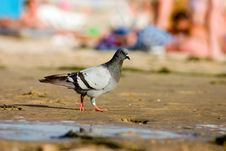 Free Pigeon On Beach Stock Image - 225241