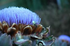 Free Artichoke Thistle Royalty Free Stock Images - 225899