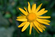 Free Yellow Flower Royalty Free Stock Image - 227056