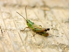 Free Grasshopper Stock Photography - 227652