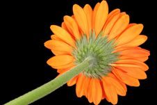 Free Gerber Daisy Underside Against Black Stock Images - 227834