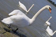 Free Gracefull White Swan Stock Image - 228121