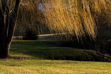 Free Willow Tree Branches Royalty Free Stock Photography - 2200437