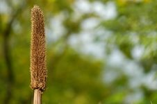 Dog S Tail Grass Royalty Free Stock Photos