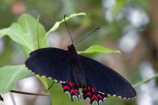 Free Tropical Butterfly Black/red Royalty Free Stock Photo - 2202015