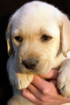 Free Labrador Retriever Puppy 2 Stock Photos - 2202453