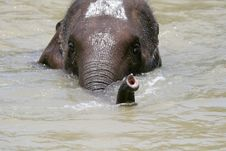 Free Young Elephant Showing Royalty Free Stock Photography - 2203737