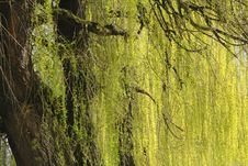 Free Abstract Willow Texture Royalty Free Stock Images - 2204119