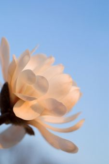 Free Beautiful Magnolia Stock Images - 2204544