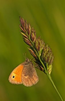 Free Butterfly Meadow Brown Stock Images - 2204744