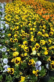 Yellow Pansy Flowers In Rows Royalty Free Stock Photos