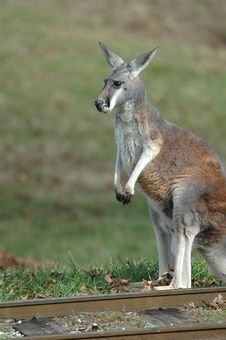 Free Kangaroo Royalty Free Stock Photo - 2206705