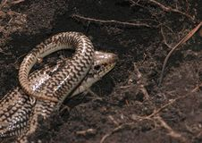 Free Great Plains Skink Stock Image - 2206741