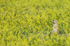 Blacktail Prairie Dog Stock Photography