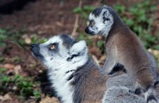 Free Baby Ring-tailed Lemur On Moth Royalty Free Stock Image - 2208506
