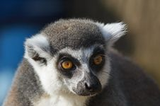 Free Portrait Of A Ring-tailed Lemu Stock Image - 2208511