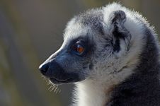 Free Portrait Of A Ring-tailed Lemu Stock Photos - 2208513