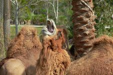 Tired Camel Royalty Free Stock Images