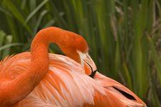 Free Flamingo Grooming Stock Image - 2209761