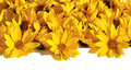 Free Carpet Of Petals Of Yellow Daisies Royalty Free Stock Photography - 22002907
