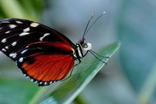 Free Golden Helicon Butterfly Royalty Free Stock Photos - 22012588