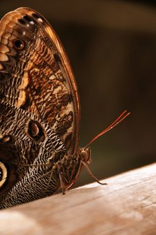 Free Giant Owl Butterfly Stock Photo - 22012600
