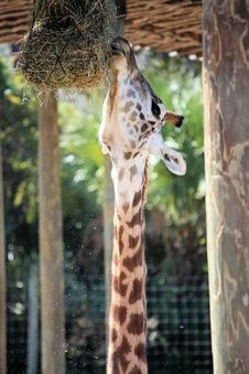 Free Giraffe Eating Royalty Free Stock Photos - 22015328