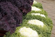 Free Ornamental Cabbages Stock Images - 22022414