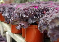 Free Purple Ornamental Cabbage Stock Photos - 22022423