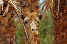 Free Giraffe Stock Image - 22022541